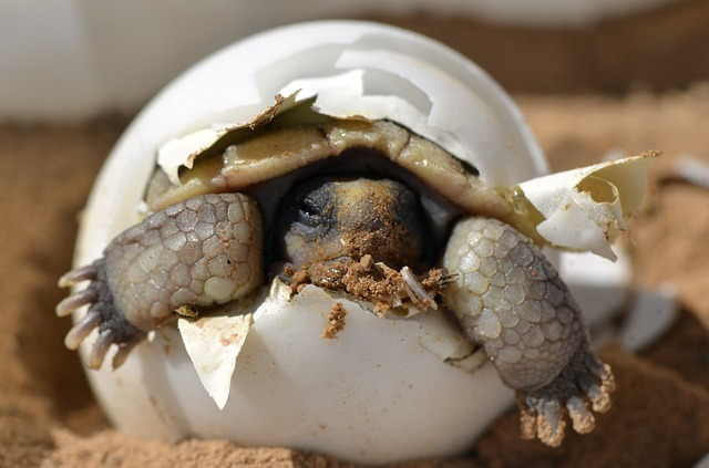 baby tortoise hatching